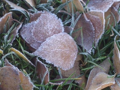 frostyleaves