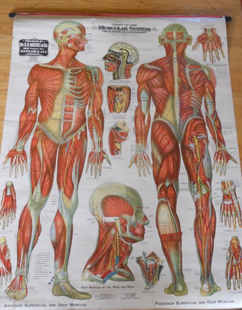 Pictures Of The Muscular System And Things In It 109